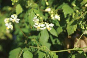 Cardiospermum grandiflorum