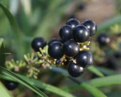 Liriope spp - fruit