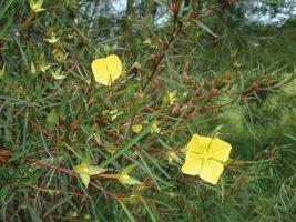 Ludwidgia longifolia