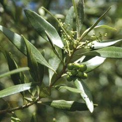 African Olive - Olea europaea subspecies cuspidata
