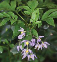 Solanum seaforthianum - flowers and leaves