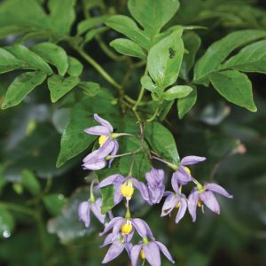 Solanum seaforthianum - flowers and leaves