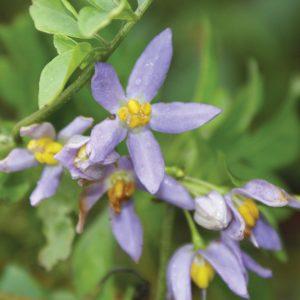 Solanum seaforthianum - flowers