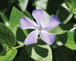 Vinca major - flower