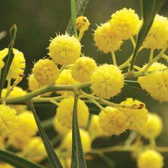 Golden Wreath Wattle Flower