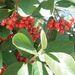 Cotoneaster species