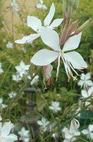 Gaura lindheirmeri flower image