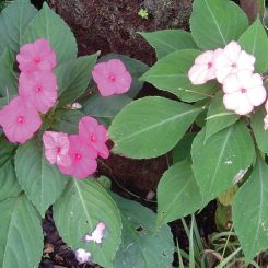 Impatiens walleriana varieties image