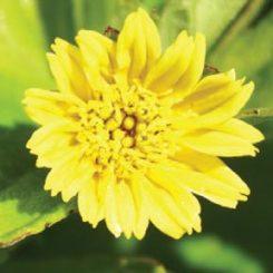 Sphagneticola trilobata flower