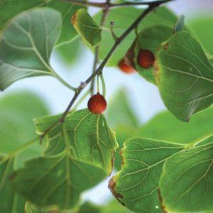 Celtis fruit closeup