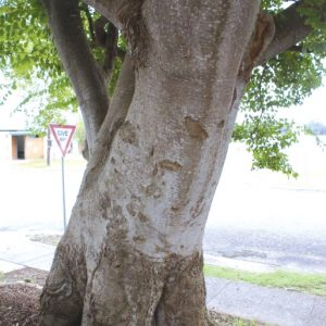 celtis-trunk