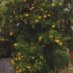 yellow-bells-01