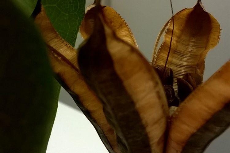 150714 Dutchman's pipe Aristolochia elegans_001 (3)