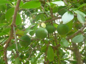 Kei apple