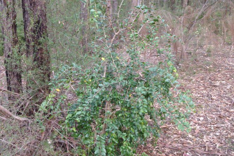 Kei Apple - Wianamatta Regional Park, Llandilo, Photo:Muru Mittigar Bush Regeneration