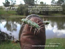 tiger pear on boot
