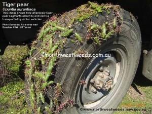 tiger pear on wheel