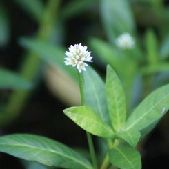 Alternanthera-philoxeroides-0009