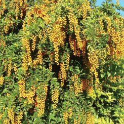 Duranta-erecta-cultivars
