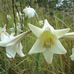 Lilium-formosanum