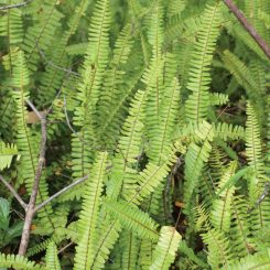 Nephrolepis-cordifolia1