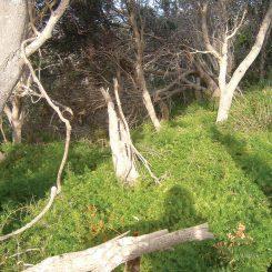 Protasparagus-aethiopicus